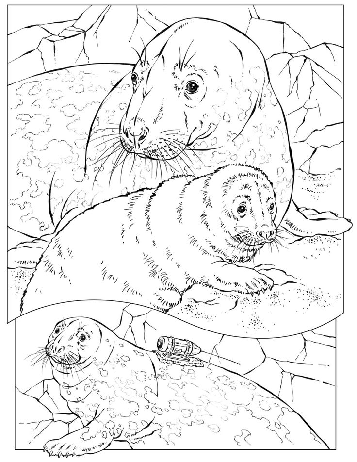 Drawn seal ocean animal On  Simply images best
