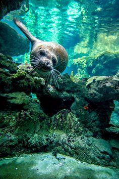 """Drawn seal water animal Stewart """" earthandanimals: Water Seal"""