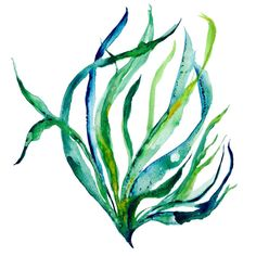 Drawn seaweed ocean algae Botanical illustration and drawn Seaweeds