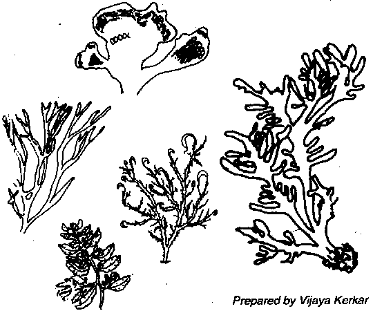 Drawn seaweed ocean algae Most Seaweeds information 3 in