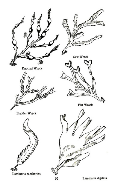 Drawn seaweed ocean algae Images 30 best Seaweed Pinterest