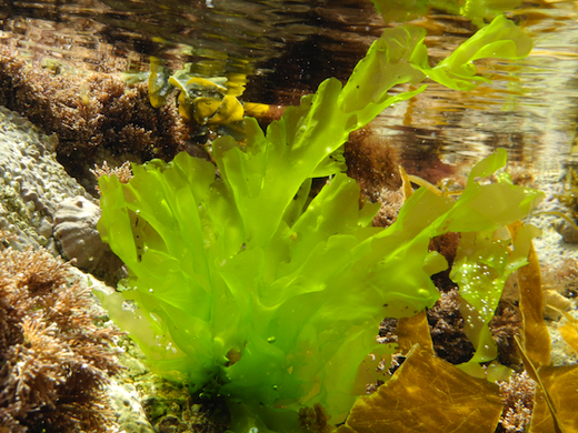 Drawn seaweed ocean algae Descriptions and  Seaweed pictures
