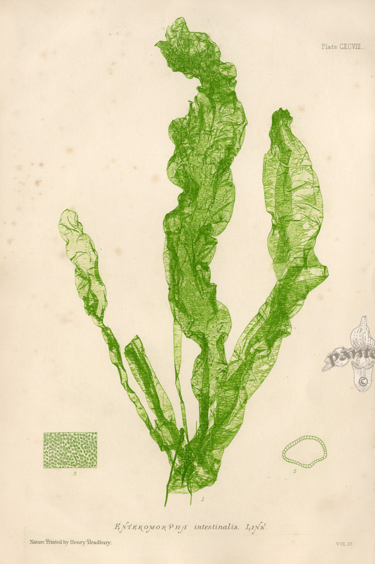 Drawn seaweed realistic Sketchbook drawing Microscopic Nature