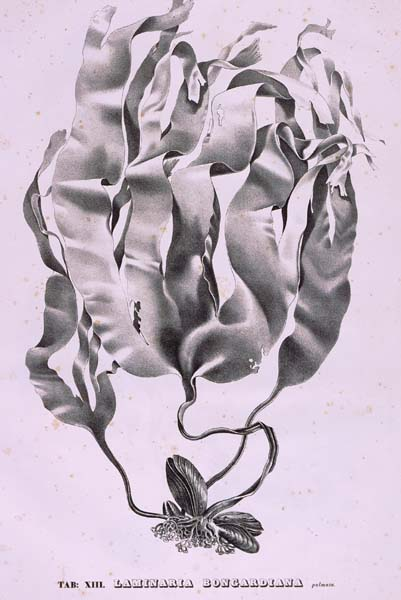 Drawn seaweed realistic Franz bongardiana Gardens from The