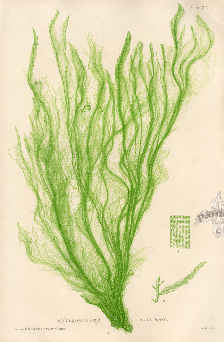 Drawn seaweed sea water Art Microscopic Sealife  and