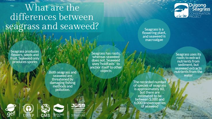 Drawn seaweed seagrass Seaweed http://www Conservation dugong… the