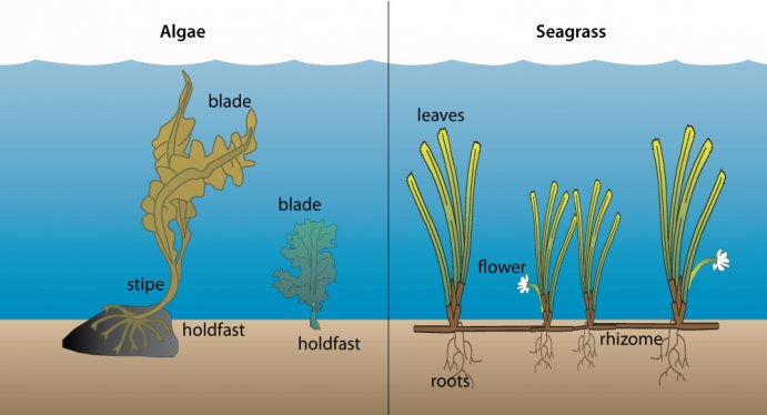 Drawn seaweed seagrass (right) Seagrass differ Algae or
