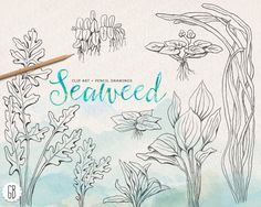 Drawn seaweed seagrass GrafikBoutique  by Sea pencil