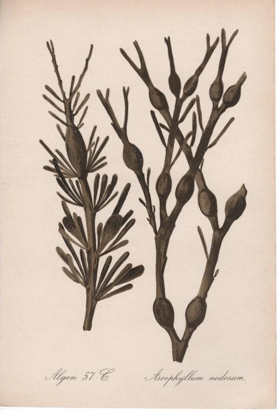 Drawn seaweed vector Algae Ascophyllum Antique Algen Brown