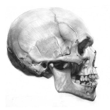 Drawn ssckull anatomy On Profile 25+ anatomy Best