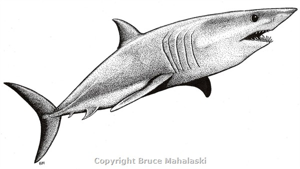 Drawn shark mako shark A draw Draw A Mako