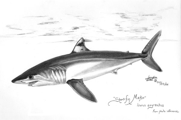 Drawn shark mako shark Photo#2 drawings shark Mako Shark
