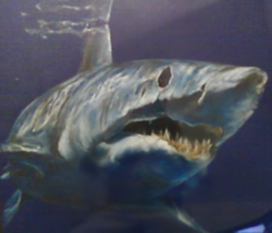 Drawn shark mako shark Jpg drawing Commons Wikimedia jpg