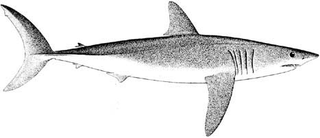 Drawn shark mako shark Project med Science finished on