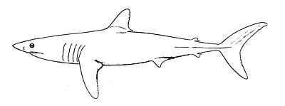 Drawn shark mako shark Info Sharks Mako and games