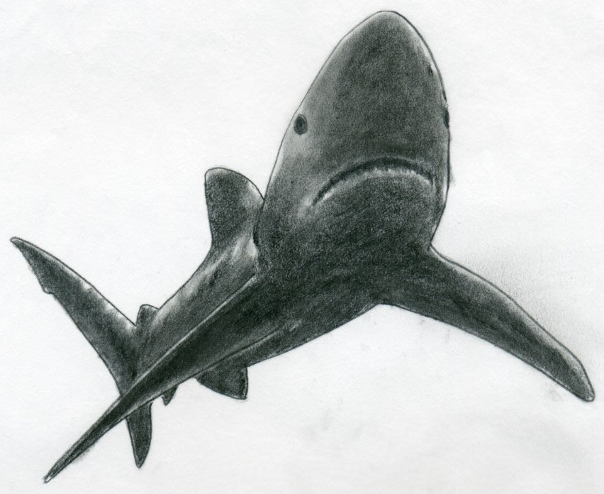 Drawn shark open mouth Body the in tone darken