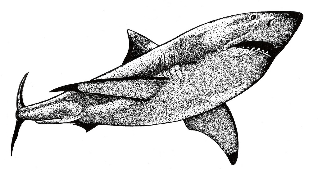 Drawn shark pen and ink Shark Great of  and