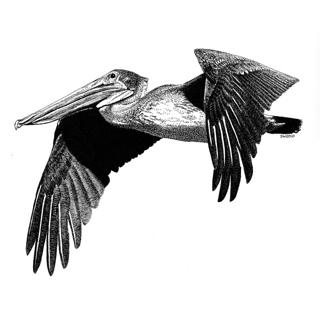 Drawn shark pen and ink Pen Pelican and Ink Pelican
