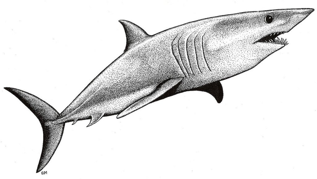 Drawn shark pen and ink Shark Shark Mako by …