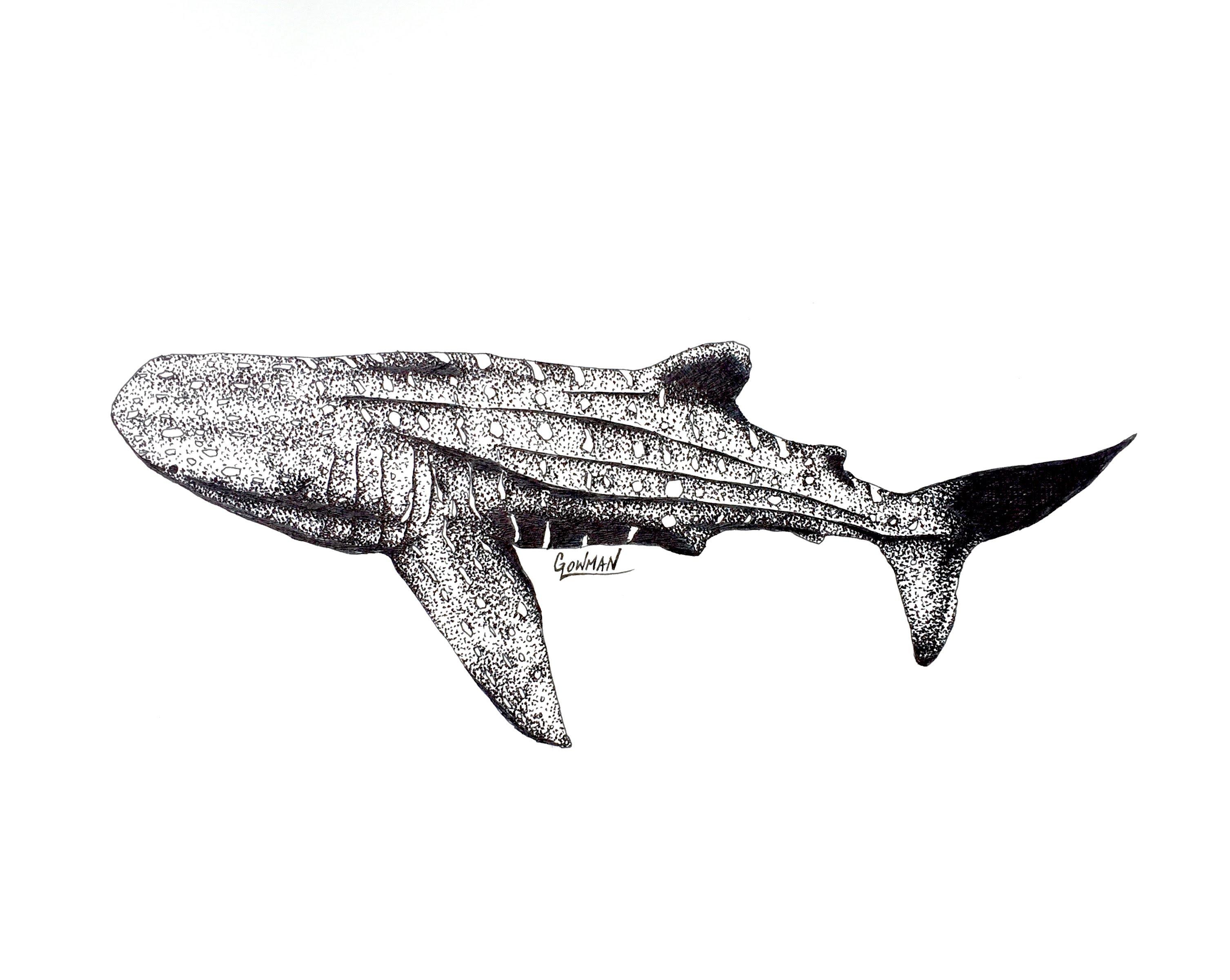 Drawn shark whale shark Artwork YouTube Shark Whale Marine