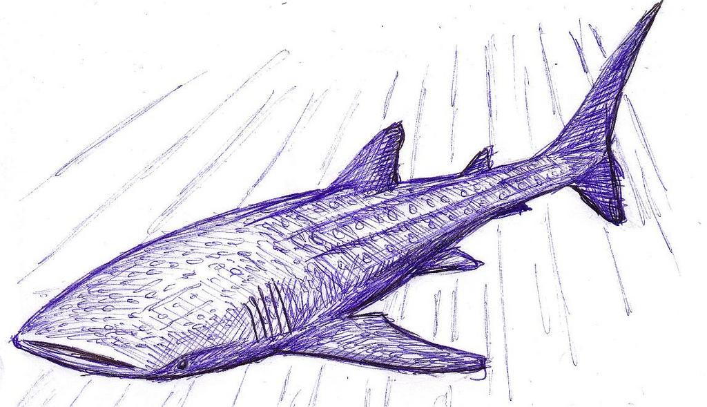 Drawn shark whale shark Ren… Flickr Whale biggest the