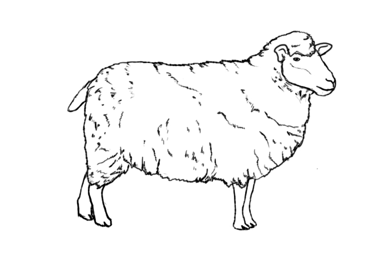 Drawn sheep A To Central  Draw