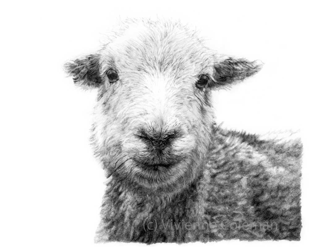 Drawn sheep pencil drawing Pet Coleman to pencil Drawings