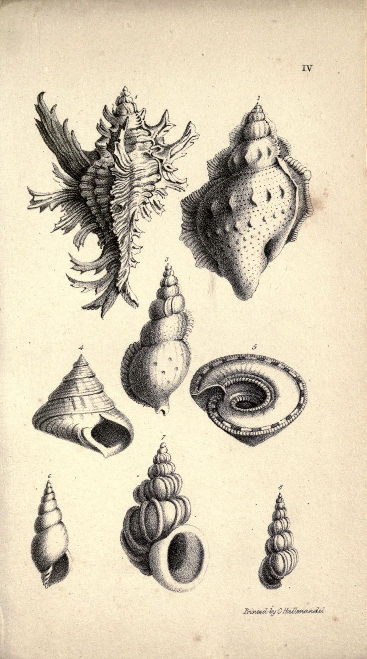 Drawn shell cone shell Heritage images on shell Biodiversity