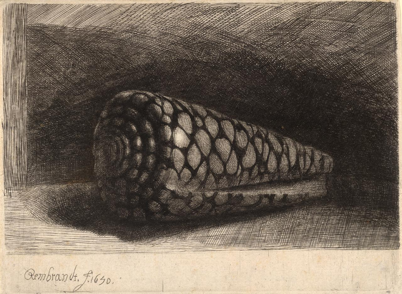 Drawn shell cone shell Shell 1 L Rembrandt's fig