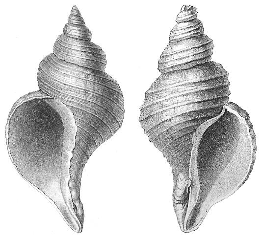 Drawn shell cone shell Gastropod  Wikipedia shell