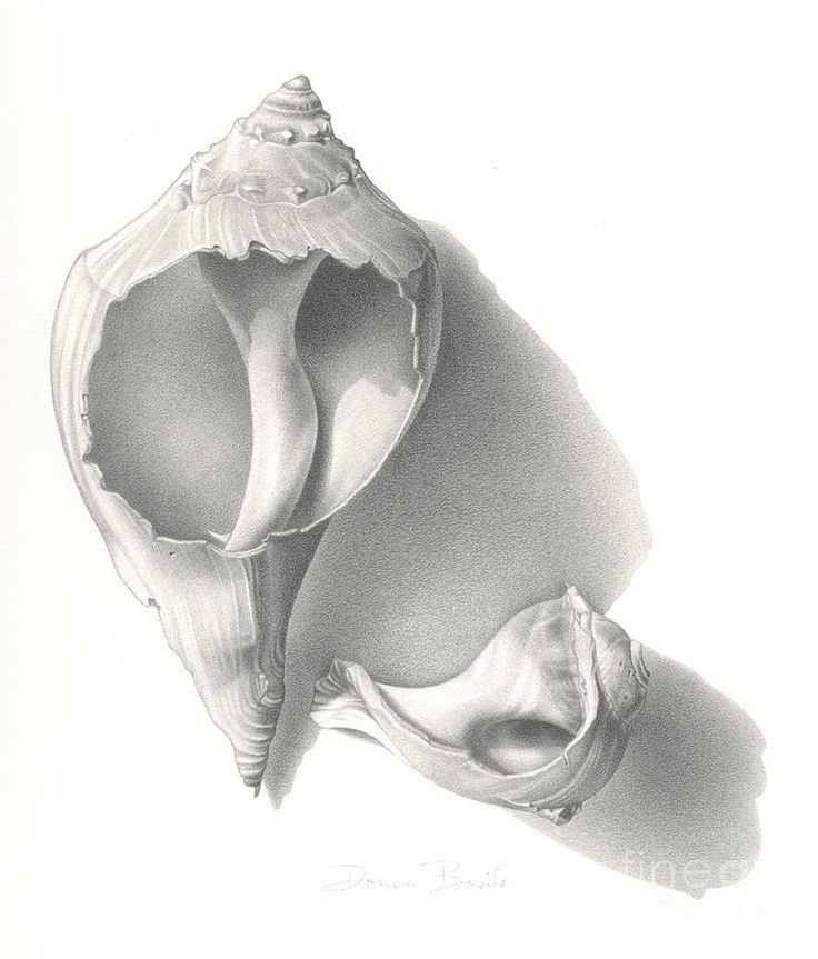 Drawn shell flower Shell on Shells Conch drawing