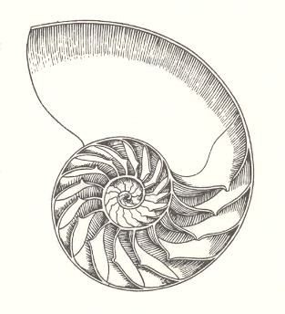 Drawn shell nautilus shell Search Best Pinterest Google ideas