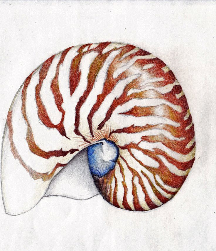 Drawn shell nautilus shell Best images 148 Pinterest draw