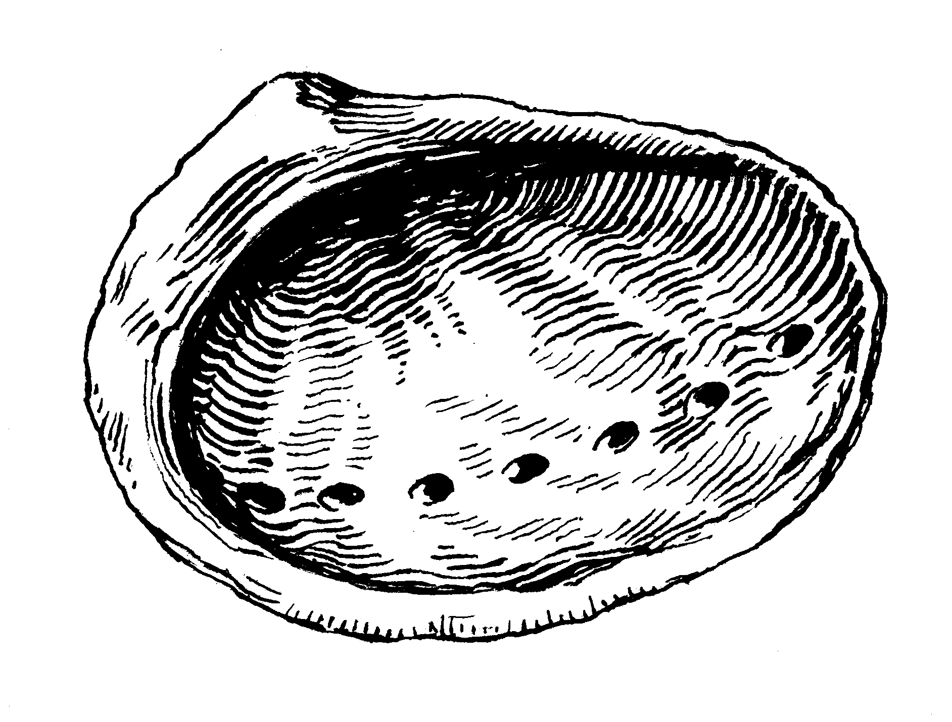 Drawn shell outline Abalone: an to Steps Draw