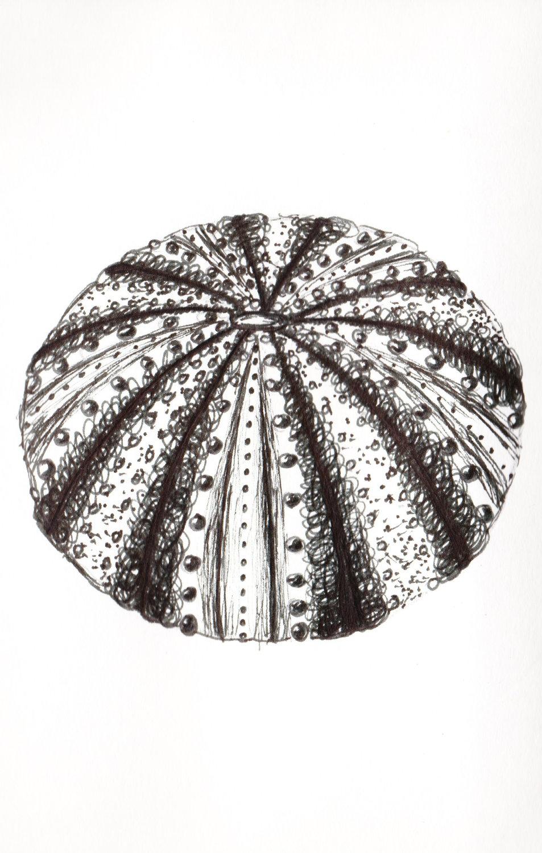 Drawn shell pen drawing And drawing sea Pen Urchin
