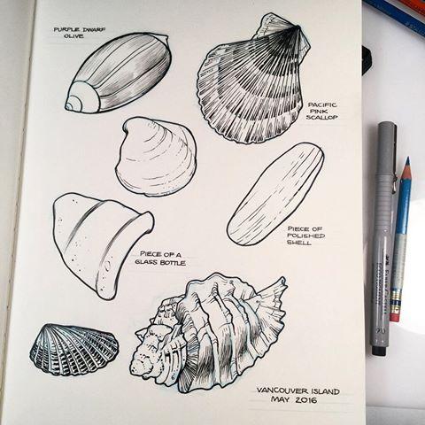 Drawn shell pen drawing The Calvert #beach seashells of