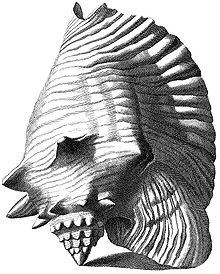 Drawn shell queen conch Opposite gigas Encyclopedia of Queen