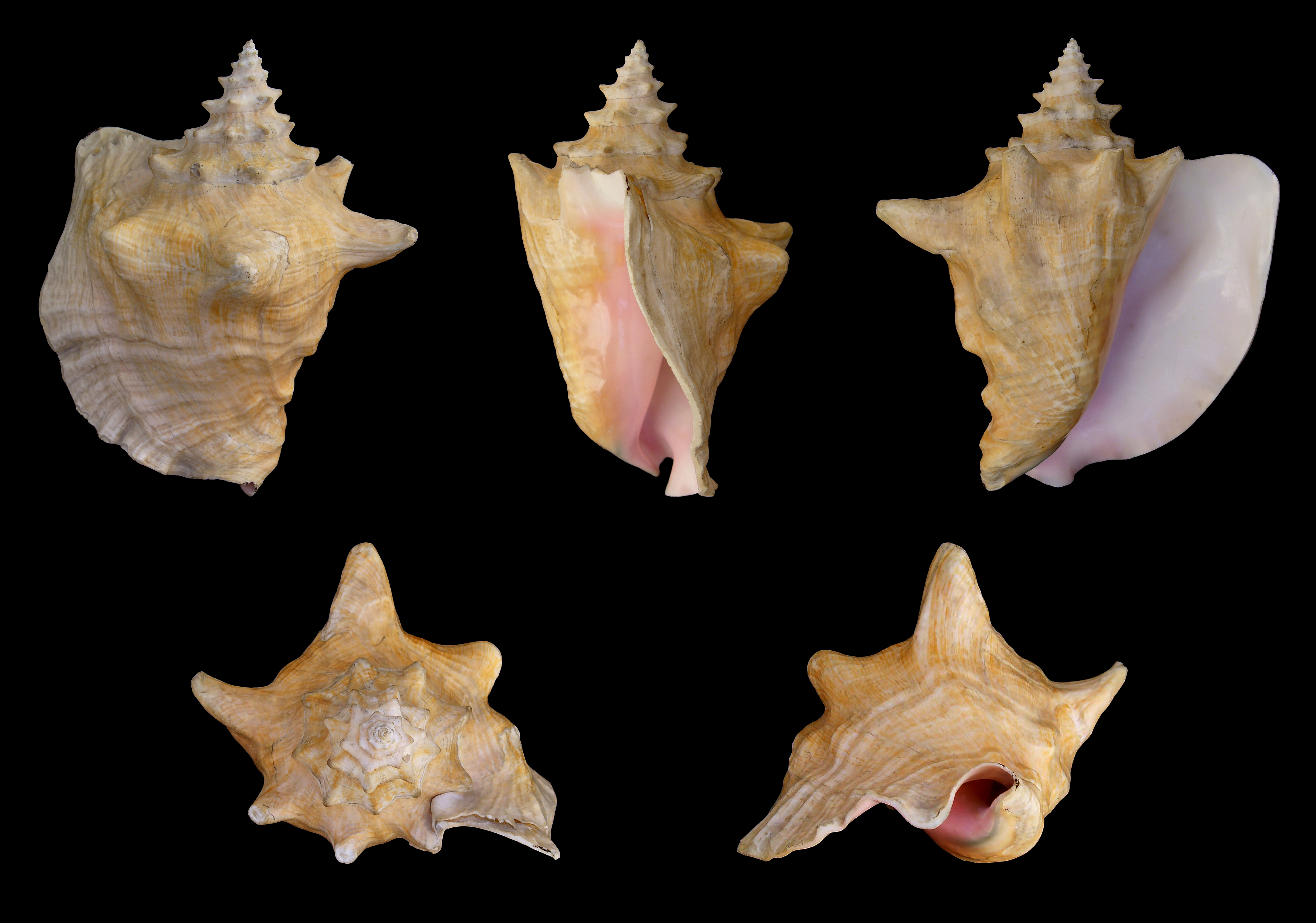 Drawn shell queen conch From Wikipedia perspectives is five