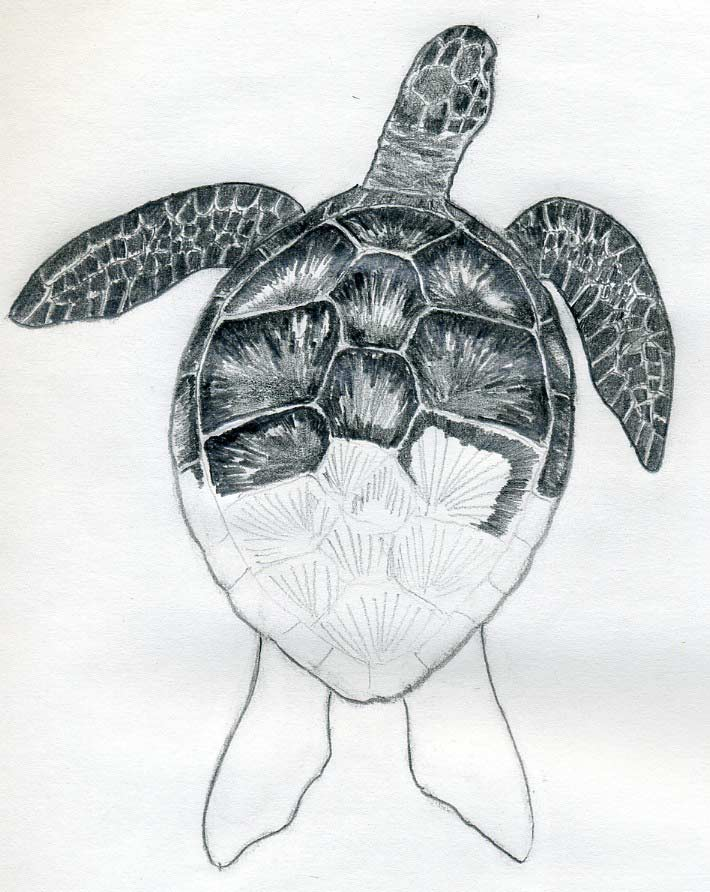 Drawn sea turtle realistic A Draw How image To