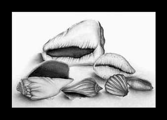 Drawn shell shaded  Shell Stilllife