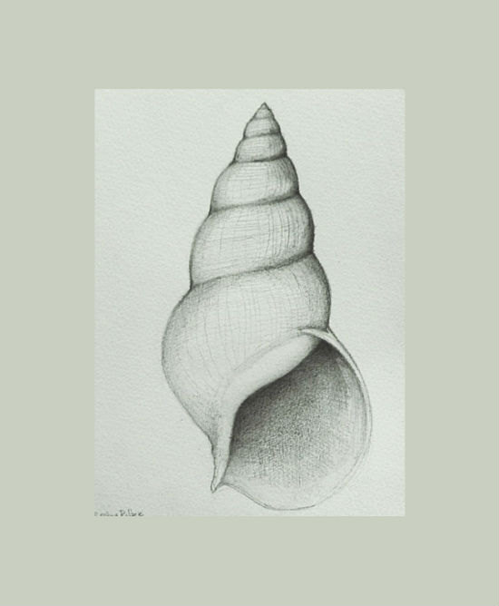 Drawn shell still life Pencil Shell Tattoos Drawing Shell