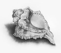 Drawn shell still life Google sea to shell drawings