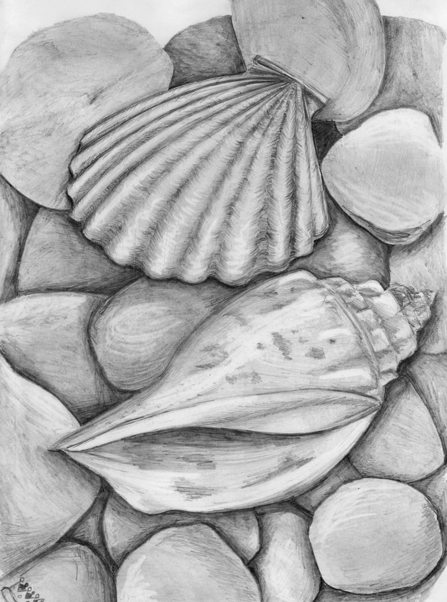 Drawn shell still life Art still art life shell