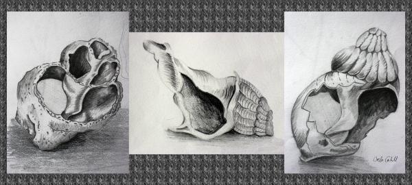 Drawn shell tonal Mx Tonal  Drawings colour