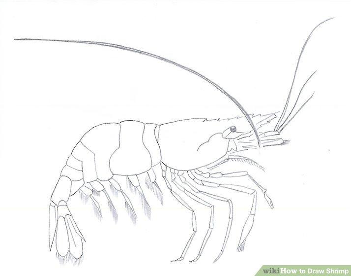 Drawn shrimp Shrimp: 8 29 7 wikiHow