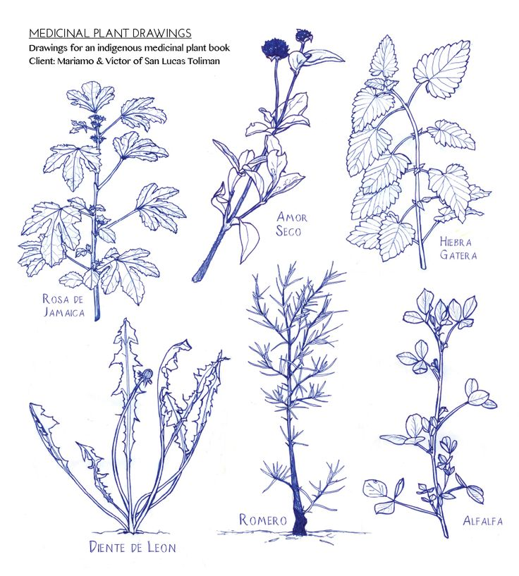 Drawn shrub easy Plants) Drawing Tutorial to (Medicinal