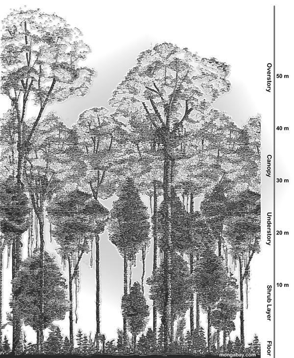 Drawn rainforest tropical forest Rainforest The rainforest Ecology structure