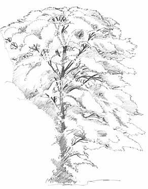 Drawn tree detailed Plan TREES ~ hints tips