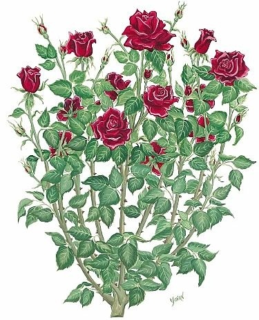 Drawn rose bush beautiful flower But roses bush single Pinterest