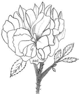 Drawn rose bush rose blossom Drawings In Roses Of Rose